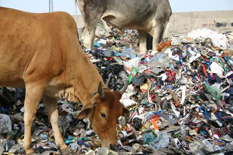 sacred-cow-eats-garbage-india